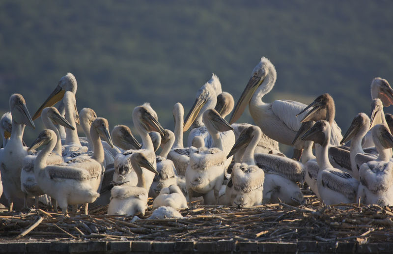 Flock Of Pelicans On Retaining Wall
