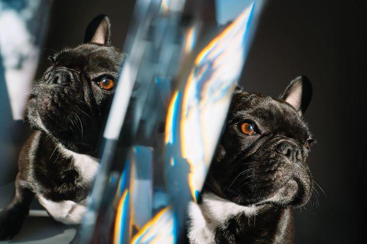Portrait of a brindle french bulldog