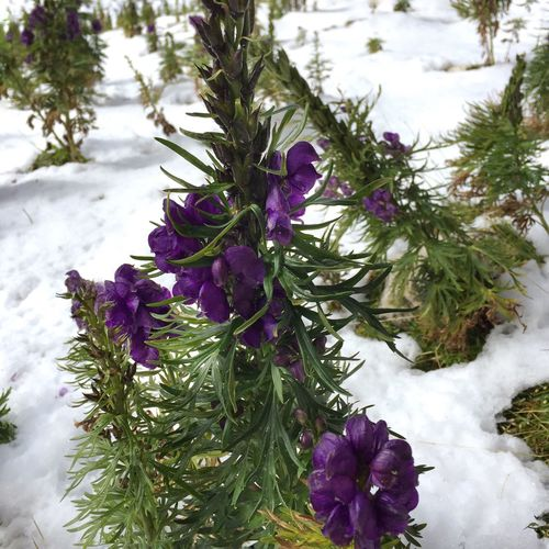 Flowers in the snow IPS2016Nature