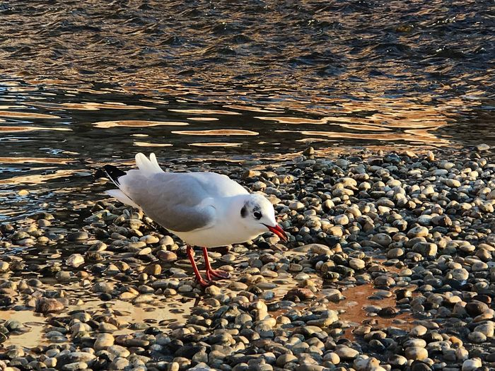 Bird Animal Themes Animals In The Wild One Animal Seagull Nature Water Outdoors Animal Wildlife No People Day Black-headed Gull Close-up
