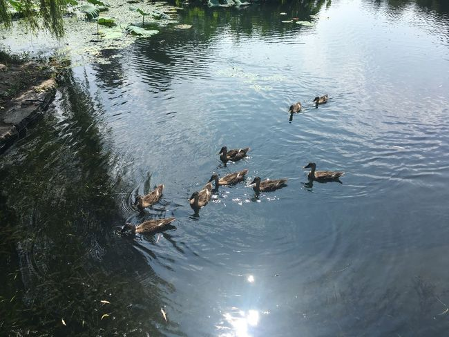 The West Lake Summer Duck Water