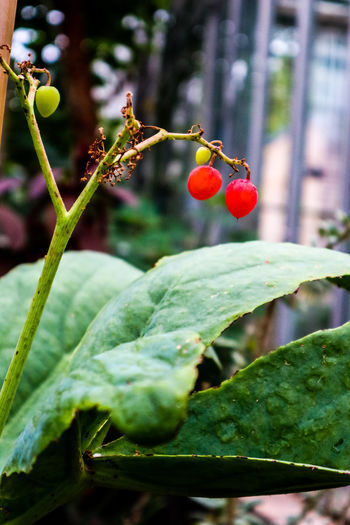 EyeEm Nature Lover EyeEmNewHere Lost In The Landscape Plant Beauty In Nature Botanical Cyphostemma Juttae Focus On Foreground Freshness Green Color Growth Leaf Nature Outdoors Red