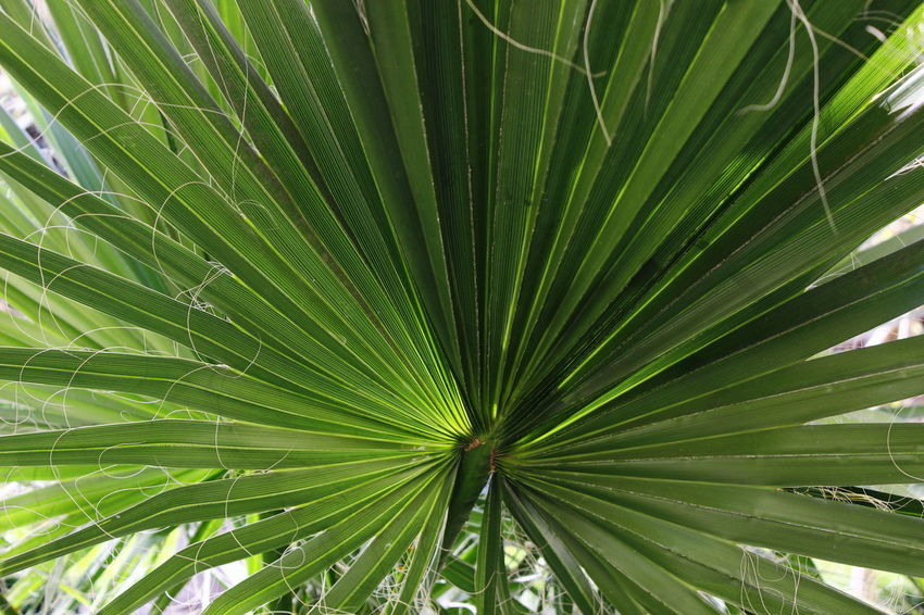 Backgrounds Beauty In Nature Close-up Day Fanned Out Fragility Full Frame Green Color Growth Leaf Nature No People Outdoors Palm Tree