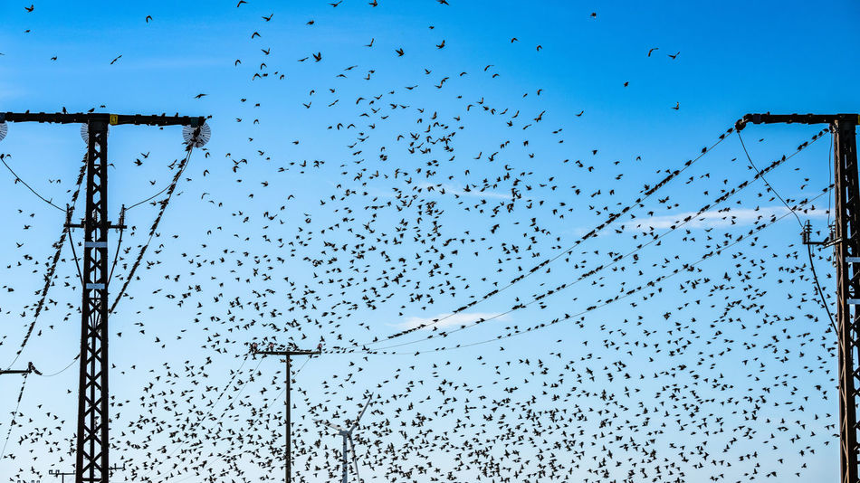 starling family Starling Autumn Animal Themes Bird Migration Birds Blue Cable Day Group Of Animals Low Angle View Nature No People Outdoors Power Supply Power Supply Lines Sky