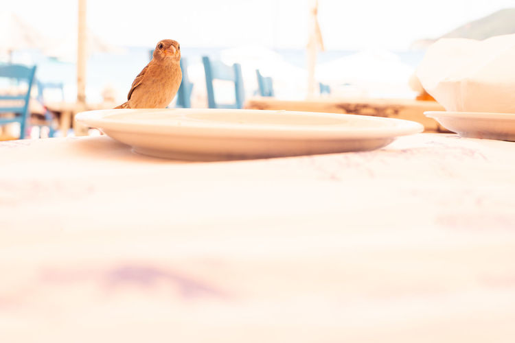 Sparrow landed on table, closeup with burned background