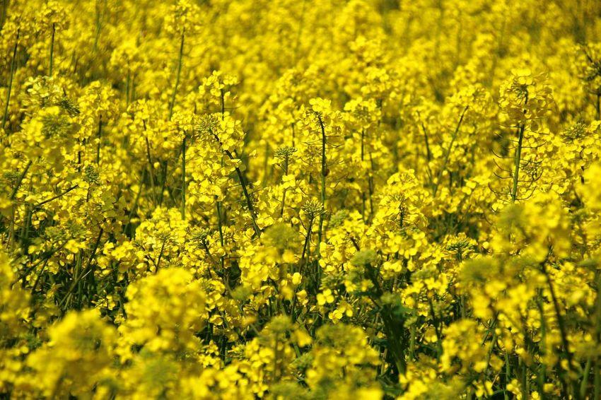Raps Rapsfeld Yellow Feld Outdoor Pictures Spring Flowers Springtime
