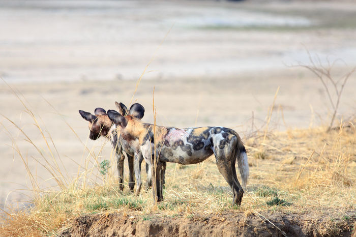 Animals In The Wild Dogs Nature Photography Painted Dog South Luangwa National Park Standing Wild Dog Wild Dogs Wildlife & Nature Wildlife Photography Agression Animal Themes Day Dog Mammal Nature No People Outdoors Safari Animals Wildlife