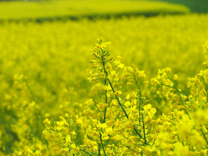 Plant Growth Yellow Beauty In Nature Land Flowering Plant Oilseed Rape Oilseed Rapeseed Rapeseed Field Agriculture Agricultural Field Agricultural Land Rural Scene Rural Yellow Plant Yellow Color Canola Canola Field Field Colza Rap Rape Seed Fields Raps Rapsfeld Rapsblüte Farming Organic Farming Crop  Crops Rapeseed Oil Colza Field Fields Landscape Flower Farm Crop  Freshness Environment Nature Vibrant Color Springtime Outdoors Tranquility No People Field Of Flowers Cultivated Land Cultivated Springtime Decadence