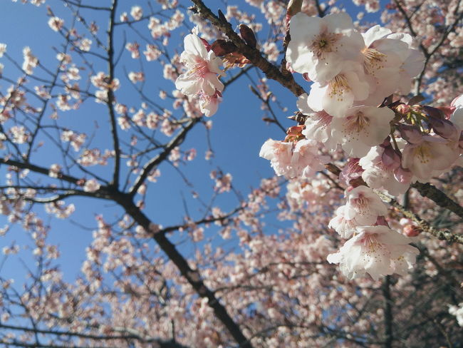 Japan Trip Sky Blue Hi! Enjoying Life Always On The Road Relaxing Sakura Sakura Trees Flowers Beautiful Pink Pink Flower Spring The Great Outdoors - 2018 EyeEm Awards