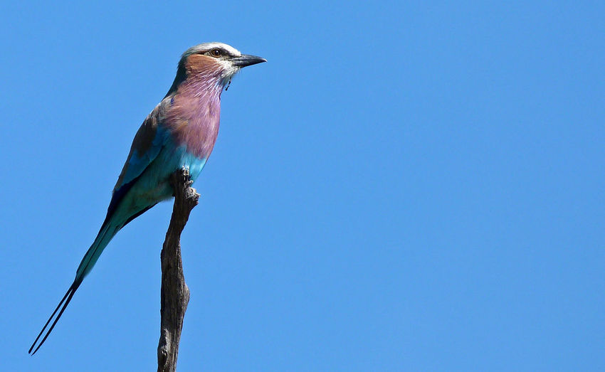Low Angle View Of Bird Perching On Tree Against Clear Blue Sky
