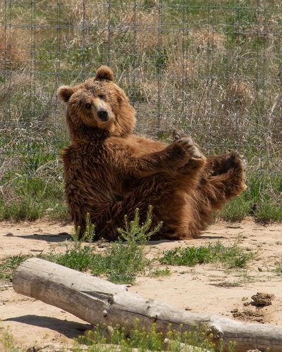 Animal Animal Themes Animal Wildlife Bear Brown Full Length Mammal One Animal Outdoors