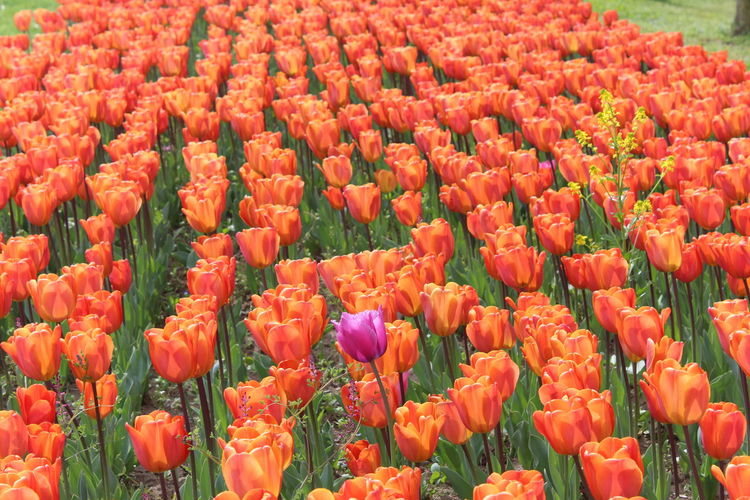 Festival Time Festival Of Tulips Springtime Urban Spring Fever Tulips Flowers Tulips In The Springtime Multi Colored No Edit/no Filter EyeEm Best Shots Eyem Gallery Eyeem Market First Eyeem Photo Canonphotography SK Fotografii😊 Tulips Flower Beauty In Nature Nature Freshness Flowerbed Flower Head Plant Full Frame Freshness