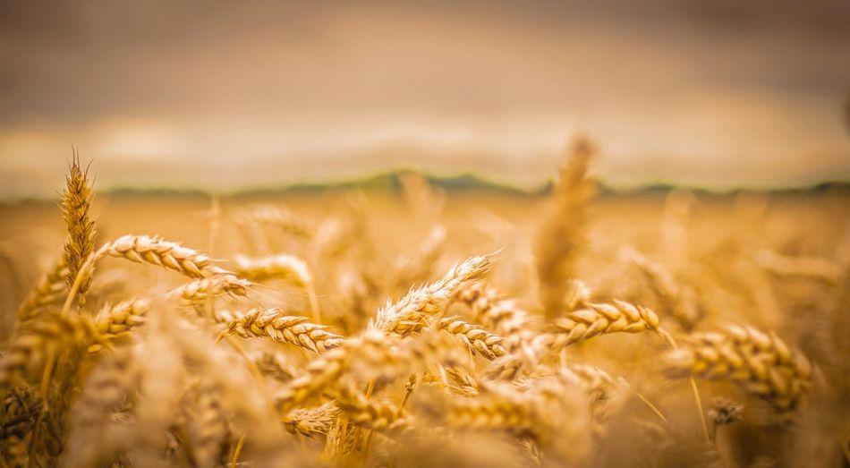 Close-up of fresh wheat field