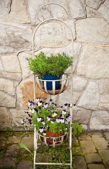 Purple Pansies blooming in metal white rack with welcome inscription, bunch of little Pansy seedlings flowering in flowerpots. Flowers in vertical orientation, nobody. Clump Decoration Decorative Flower Flowerpot Flowerpots Flowers Nature No People Ornamental Ornate Pansies Pansy Plant Plants Purple Rack Shabby Chic Shabbychic Stillage Viola Violaceae Violet Welcome