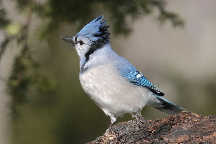 Bluejay Animal