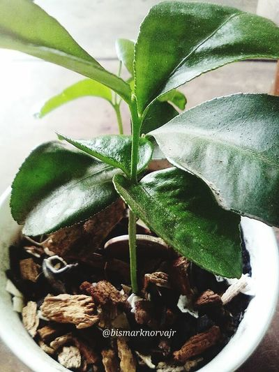 Lemon Tree Plant Green Color Indoors  Freshness Herbal Medicine Nature Growth Close-up Alternative Medicine Leaf Food WheninCapiz Sunnyday No People Day