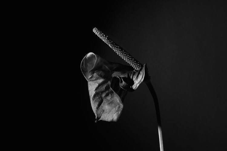 Anthurium Growing On Black Background