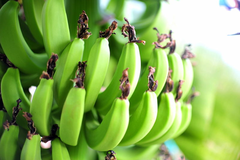 Close-up of bananas on tree