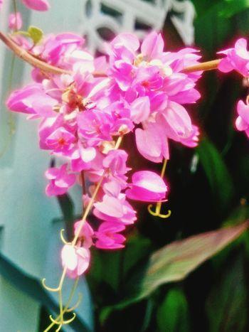 พวงชมพู Freshness Flower Fragility Growth Pink Color Petal Close-up Beauty In Nature Flower Head Nature Springtime In Bloom Blossom Selective Focus Focus On Foreground Plant Botany Pink Day Bunch Of Flowers No People Outdoor Pictures Samutprakarn In Thailand Beauty In Nature