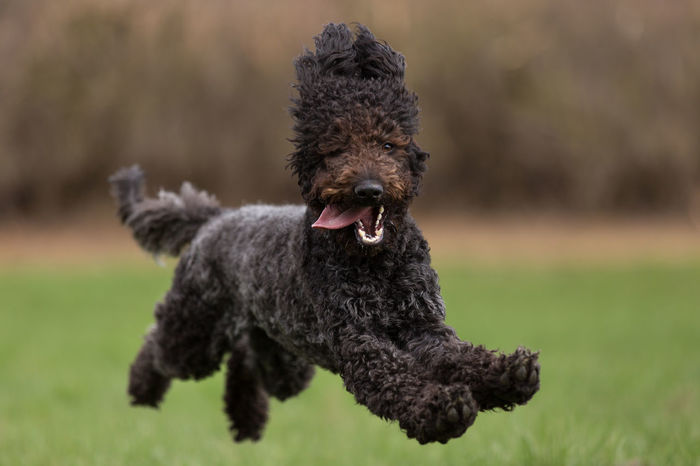 Daisy flieg! Animal Animal Themes Brown Background Brown Hair Close-up Day Dog Grass Green Green Background Happy Joy Joyful Jumping Labradoodle Laughing Light Looking Looking At Camera Lucky One Animal Outdoors Pet Running Smile