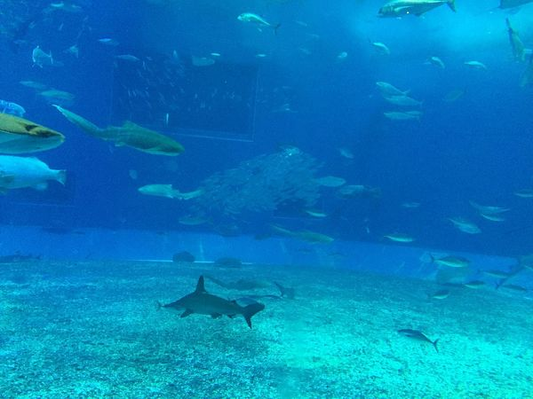 Aquarium Beauty In Nature Blue Fish Nature Okinawa School Of Fish Sea Life Sharks Sting Rays Swimming Underwater Water Waterlife