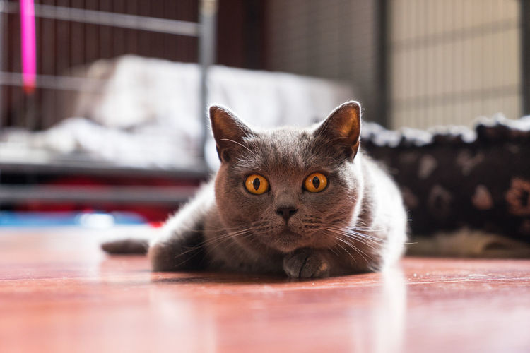 British shorthair cat, mother, lying on the floor looking at the camera