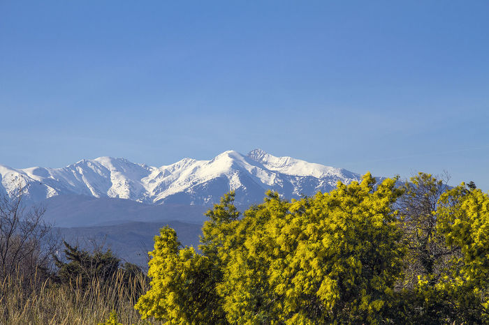 Beauty In Nature Blue Canigou Clear Sky Cold Temperature Day Forest France Ille Sur Tet Landscape Mimosa Mountain Mountain Peak Mountain Range Nature No People Orgues Outdoors Scenics Snow Snowcapped Mountain Tranquility Tree