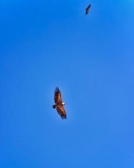 Golden Eagles In Flight Spread Wings Blue Sky Flying