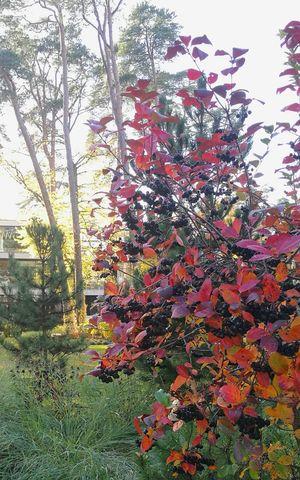 Aronia Aronia Berries Bush Autumn Autumn Colors Autumn🍁🍁🍁 Nature Tree Beauty In Nature No People Outdoors Jurmala Resort Latvia