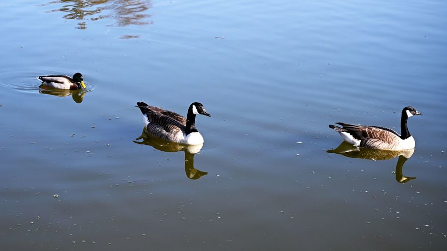 Canada Geese Water Lake Vertebrate Animals In The Wild Bird Animal Themes Animal Wildlife Animal Swimming No People Nature Day