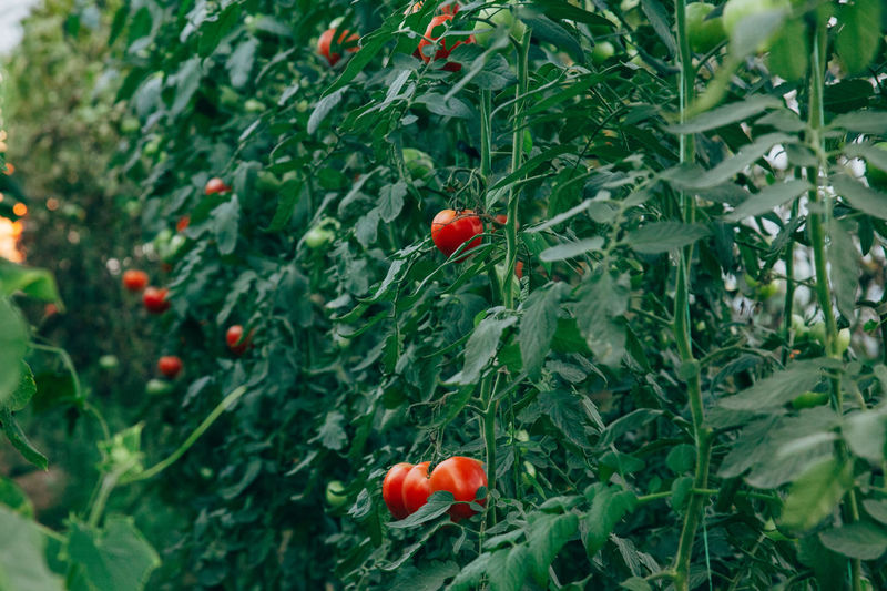 Tomatoes in the garden Tomatoes Plant Growth Red Healthy Eating Food And Drink Freshness Food Plant Part Garden Organic Food Vegetable Vegetarian Food Green