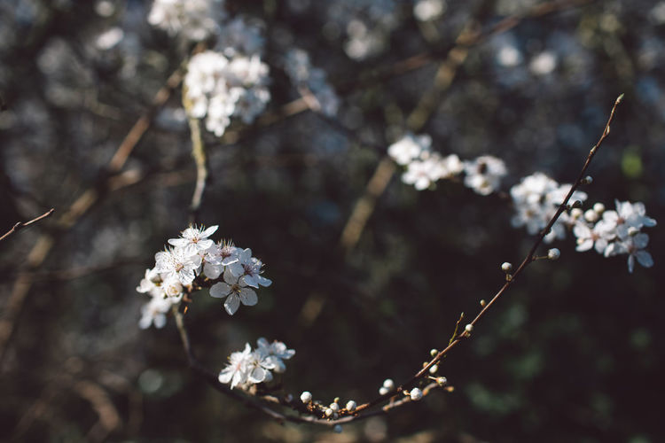 Springtime Decadence Flowering Plant Plant Flower Fragility Vulnerability  Freshness Growth Beauty In Nature Focus On Foreground Tree Close-up Nature Day White Color Blossom Branch No People Springtime Twig Selective Focus Outdoors Flower Head Cherry Blossom Cherry Tree