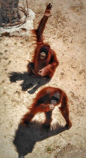 Give me more peanuts! Orangutan Of Borneo Animal Photography Redhair Peanuts