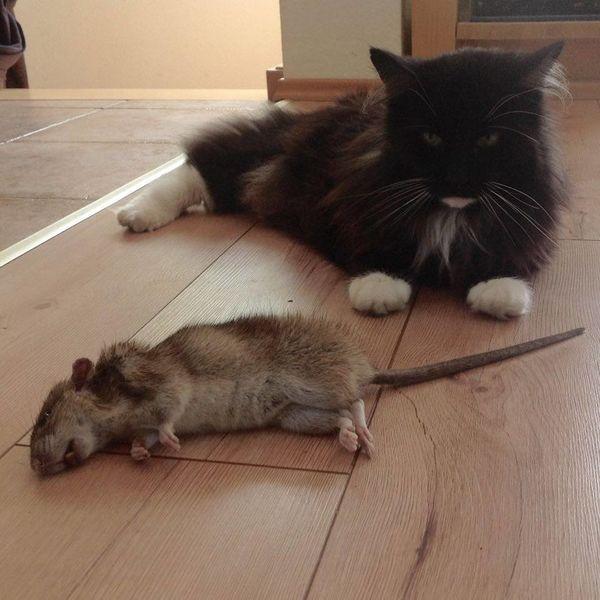 Cat And Rat Hunter Jägermeister Ratte Raubtier Catch Of The Day Domestic Cat Jäger Sucsess