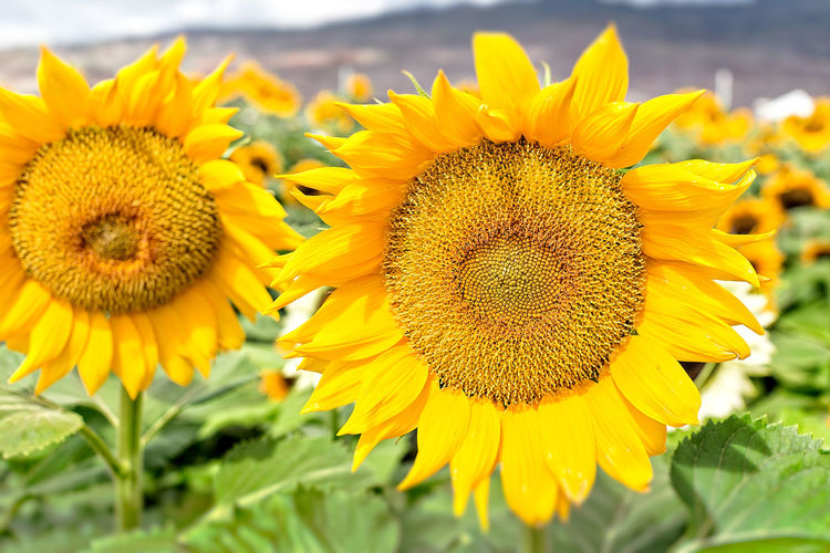 Beauty In Nature Beauty In Nature Blooming Close-up Daisy Day Flower Flower Head Fragility Freshness Growth Mountain Nature No People Outdoors Petal Plant Pollen Sunflower Yellow