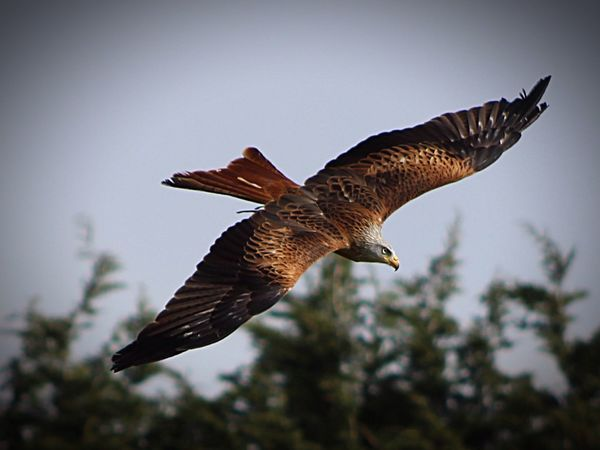 Red Kite Red Kite In Flight Birds Of Prey Stunning Beautiful Nature Birds Suffolk Stonham Barns United Kingdom