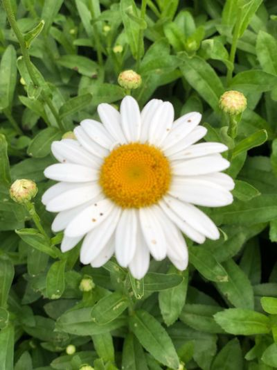 Daisy Dasiy Flower Flowering Plant Vulnerability  Plant Fragility Petal Flower Head