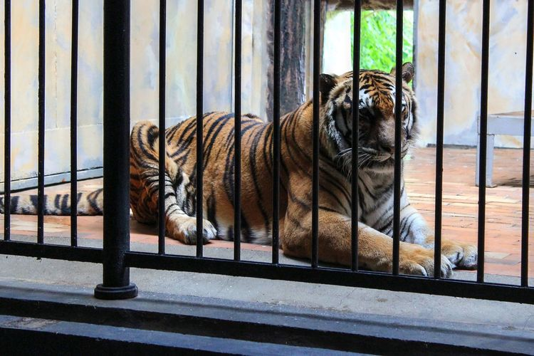 Tiger Sitting In Cage At Zoo