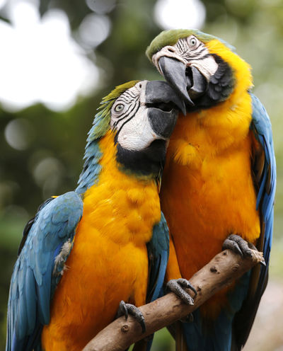 Animal Themes Animal Wildlife Animals In The Wild Beak Beauty In Nature Bird Blue Close-up Day Focus On Foreground Gold And Blue Macaw Macaw Nature No People Outdoors Parrot Perching Togetherness Two Animals