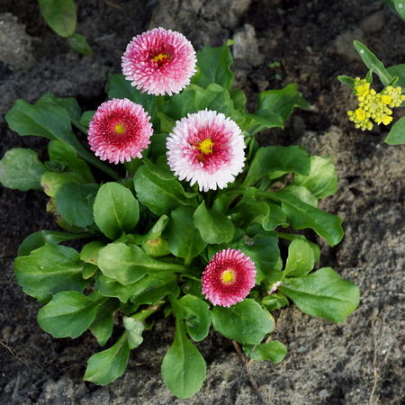 Ornamental Daisies Beauty In Nature Close-up Day Flower Flower Head Fragility Freshness Green Green Color Growth High Angle View Leaf Nature No People Outdoors Plant Red White