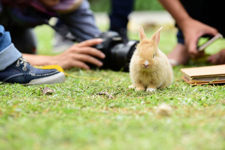 The rabbit is outstanding in green field. The rabbit, brown and white rabbit, mother and baby, walking in the lawn. Little rabbits are tricky in the garden. Rabbit on fresh green grass. Real People Selective Focus Human Body Part Human Hand Hand One Animal Vertebrate Mammal People Body Part Low Section Nature Pets Domestic Day Men Human Leg Outdoors Human Limb Domestic Animals