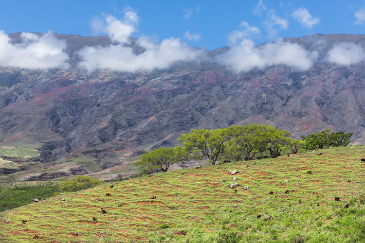 Goats grazing in a beautiful landscape Goat Hawaii Rock Formation Travel Trees Clouds Daylight Mountain Sky Volcanic Landscape