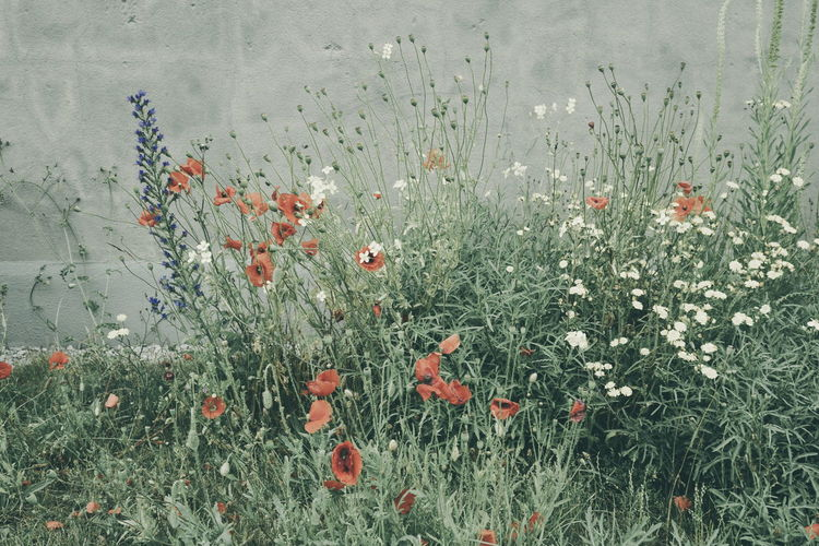 Wild flowers Beauty In Nature Blooming Day Flower Fragility Freshness Grass Growth Nature No People Outdoors Plant Poppies  Poppy Poppy Flowers Wild Flowers Wildflower