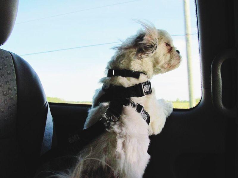 Dog Car Ride  Wind