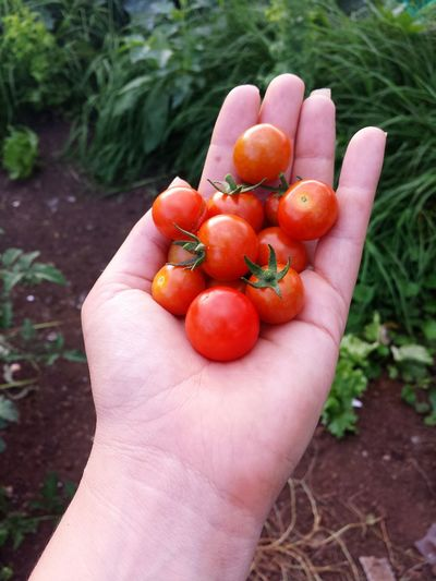 Cropped hands holding cherry tomatoes in garden