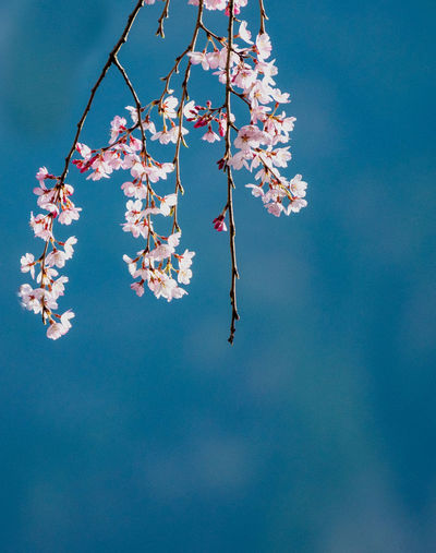 Low angle view of cherry blossom against blue sky.