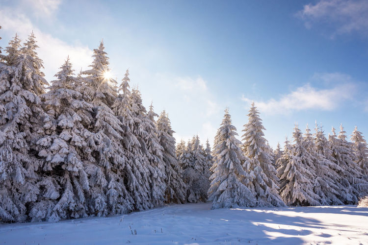 Snow covered pine trees against sky
