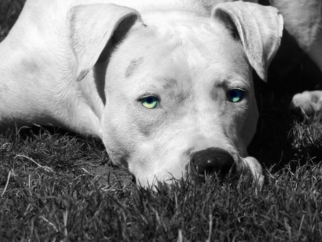Delilah, a deaf cancer surviving rescued Pit Bull with the most beautiful blue eyes. Alertness Animal Animal Head  Animal Nose Animal Themes Black And White With A Splash Of Colour Close-up Day Dog Dog Portrait Domestic Animals Grass Looking At Camera Lying Down Mammal No People One Animal Outdoors Pets Pit Bull Portrait Relaxation Resting Snout Zoology