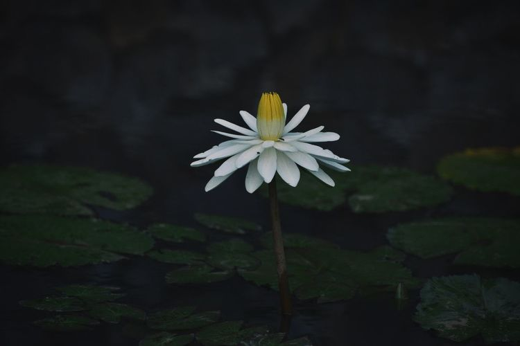 Stand up and stand proud Macro Waterlily Gloomy Fragility Petal Freshness Blooming Plant Close-up Outdoors White Color