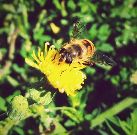 "Taken and edited by Shaylah Leigh using LG G4. Entitled ""Let Me Bee"" Buzzbuzz Bee HoneyBee Blackandyellow Beeonflower Insect Pollination Pollenator Beeandflower Nature Bugslife Bug First Eyeem Photo"